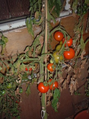 tomatoes, all ripe